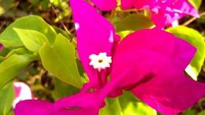 Photography-Macro-Flowers-Pictures-Bogainvillea