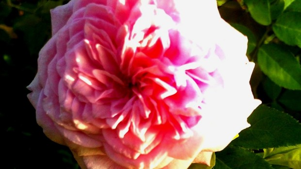 Macro-Photography-Flowers-Pictures-Pink-Rose